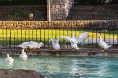 Gansos que nadam no lago fotos de stock royalty free