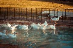 Gansos que nadam no lago imagens de stock royalty free