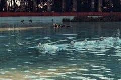 Gansos que nadam no lago fotos de stock