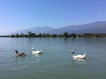 Gansos que nadam no parque, lago, Mountain View, Califórnia Imagens de Stock Royalty Free