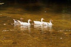 Gansos que nadam no rio Foto de Stock Royalty Free
