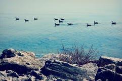 Gansos que nadan en el lago Michigan Foto de archivo libre de regalías