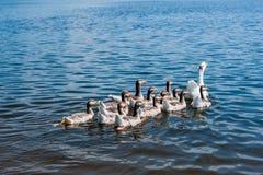 Gansos que nadan en el río Imagen de archivo