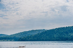 Gansos que nadan en el río Fotos de archivo