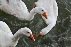 Gansos que nadan en el río Fotos de archivo libres de regalías