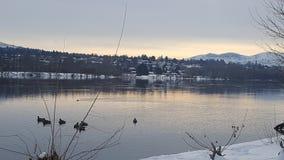 Gansos que nadan en el río Columbia Foto de archivo libre de regalías