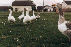 Gansos que pastan en prado verde del verano grupo de ganso con whi fotos de archivo