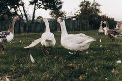 Gansos que pastan en prado verde del verano grupo de ganso con whi fotos de archivo libres de regalías