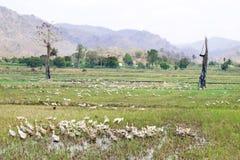 Gansos que pastan en un campo del arroz imagenes de archivo