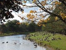 Gansos que recolhem em torno de uma lagoa em um dia bonito da queda Foto de Stock