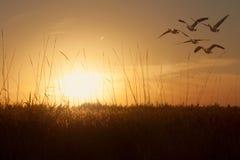 Gansos que se deslizan sobre campo de grano en la puesta del sol Imagen de archivo libre de regalías