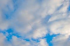 Gansos que voam em um céu nebuloso azul no outono fotografia de stock