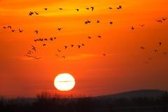Gansos que voam no nascer do sol Imagens de Stock Royalty Free