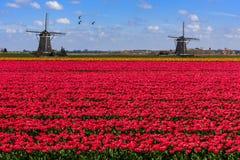 Gansos que voam sobre a exploração agrícola vermelha infinita da tulipa Imagem de Stock