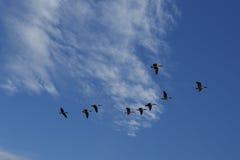 Gansos que vuelan al sur Imágenes de archivo libres de regalías