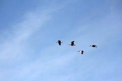 Gansos salvajes, anser del anser, volando Fotos de archivo