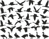 Gansos salvajes del pájaro Imagen de archivo libre de regalías