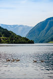 Gansos salvajes en el fiordo noruego Foto de archivo