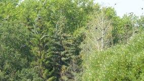 Gansos salvajes que nadan en el río en un día soleado en un parque reservado El vuelo ducks en una charca en el parque almacen de video