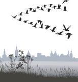 Gansos selvagens da migração do país Foto de Stock