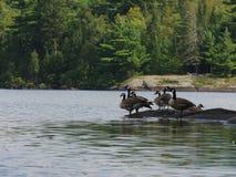 Gansos selvagens de Canadá fotografia de stock royalty free