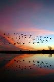 Gansos selvagens de voo e um por do sol vermelho Fotografia de Stock