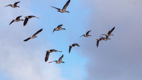 Gansos selvagens de voo na luz da manhã imagem de stock