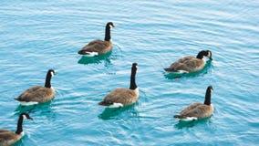 Gansos selvagens no lago Lago azul brilhante imagem de stock