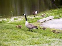 Gansos selvagens no rio de Forest Preserves e de Des Plaines de Illinois EUA fotografia de stock