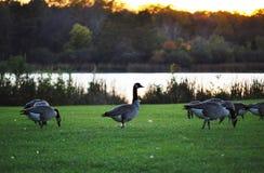 Gansos selvagens pelo lago Foto de Stock Royalty Free