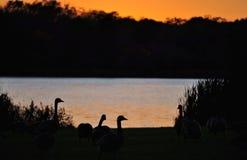 Gansos selvagens pelo lago Fotos de Stock