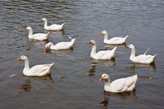 Gansos selvagens que nadam em um lago Foto de Stock Royalty Free