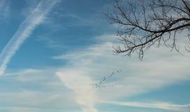 Gansos selvagens que voam na formação no céu nebuloso com ramo de árvore desencapado no primeiro plano fotografia de stock royalty free