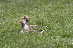 2 gansos silvestres Fotos de archivo