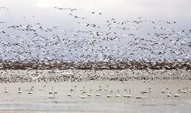 Gansos y cisnes de nieve Imagenes de archivo