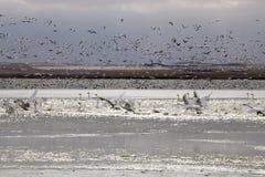 Gansos y cisnes de nieve Foto de archivo libre de regalías