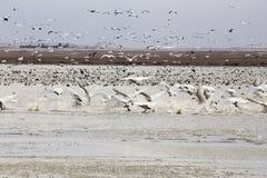 Gansos y cisnes de nieve Fotos de archivo libres de regalías
