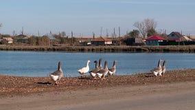 Gansos y cisnes en la charca del pueblo metrajes