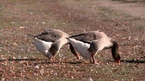 Gansos y cisnes en la charca del pueblo almacen de video