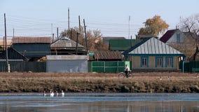 Gansos y cisnes en la charca del pueblo almacen de metraje de vídeo