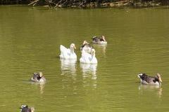 Gansos y ducks-2 fotografía de archivo libre de regalías