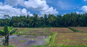Gansos y garzas en campo del arroz Fotografía de archivo libre de regalías