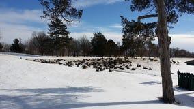 Gansos y nieve en un campo de golf Fotos de archivo libres de regalías