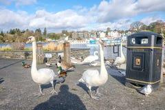 Gansos y patos de los cisnes en orilla del lago del windermere imágenes de archivo libres de regalías