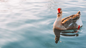Gansschwimmen im See Stockfoto