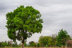 Gant Tree dans la tempête Photographie stock libre de droits