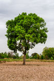 Gant Tree in Storm Stock Photography