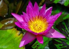 Ganz offene rosa Seerose im tropischen Teich lizenzfreie stockfotos