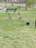 Ganzen bij het park stock afbeeldingen
