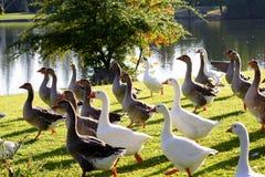Ganzen bij het park Royalty-vrije Stock Fotografie
